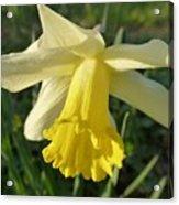 Yellow Daffodil 2 Acrylic Print