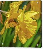 Yellow Daffodil May 2016. Acrylic Print