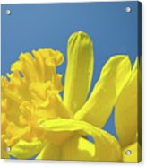 Yellow Daffodils Flowers Art Blue Sky Spring Baslee Troutman Acrylic Print