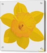 Yellow Daffodil Acrylic Print