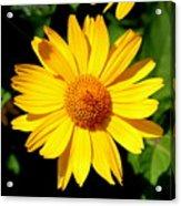 Yellow Daisey Acrylic Print