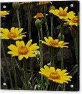 Yellow Daisies Acrylic Print