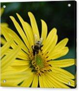 Yellow Daisy And Bee  Acrylic Print