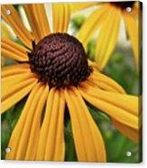 Yellow Daisy I Acrylic Print