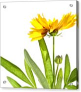 Yellow Daisy Isolated Against White Acrylic Print by Sandra Cunningham