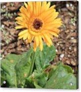 Yellow Daisy Acrylic Print