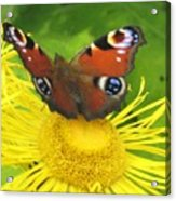Yellow Daisy With Butterfly Acrylic Print