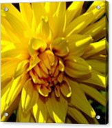 Yellow Daliha Acrylic Print