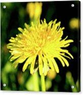 Yellow Dandelion Flower Acrylic Print