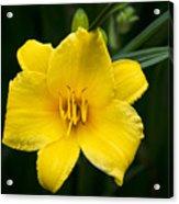 Yellow Daylily Flower Acrylic Print