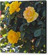 Yellow Daze Acrylic Print