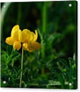 Yellow Dew Drops Acrylic Print