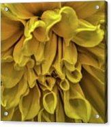 Yellow Dinner Plate Dahlia Acrylic Print