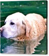 Yellow Dog In Pond Acrylic Print