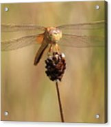 Yellow Dragonfly Acrylic Print