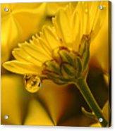 Yellow Drip Acrylic Print