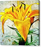 Yellow Easter Lily Acrylic Print