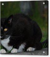 Yellow Eyed Cat Acrylic Print