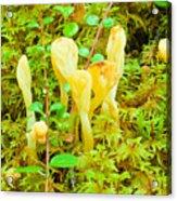 Yellow Fairy Fan Mushrooms Spathularia Flavida Acrylic Print