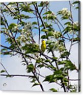 Yellow Finch And Flowers Acrylic Print