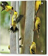 Yellow Finch Feeding Frenzy Acrylic Print