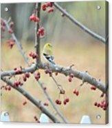 Yellow Finch In Crab Apple Tree Acrylic Print