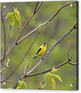 Yellow Finch In Spring Acrylic Print