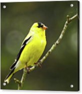 Yellow Finch Perching Acrylic Print
