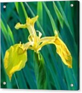 Yellow Flag Wildflower Acrylic Print