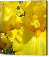 Yellow Floral Irises Flowers Art Prints Baslee Troutman Acrylic Print
