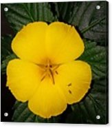 Yellow Flower 2 Acrylic Print