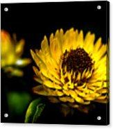Yellow Flower 5 Acrylic Print