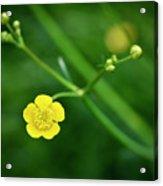 Yellow Flower Buttercup Acrylic Print