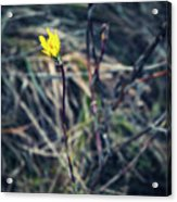 Yellow Flower In Dry Autumn Grass Acrylic Print