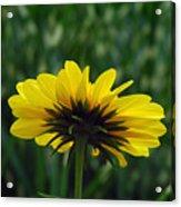 Underside, Petals, Yellow Acrylic Print