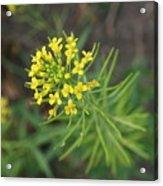 Yellow Flower Weed Acrylic Print