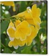 Yellow Freesias Acrylic Print