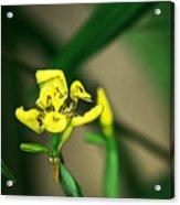 Yellow Flowers I Acrylic Print