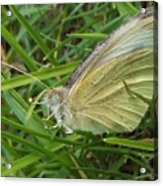Yellow Fringed Sulphur Butterfly In Grass Blades  Image No 1  Indiana Acrylic Print