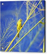 Yellow Fronted Canary Acrylic Print