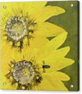 Yellow Gazanias And Bee  Acrylic Print