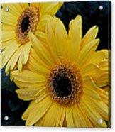 Yellow Gerbera Daisies Acrylic Print