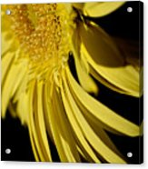 Yellow Gerbera Daisy By Kaye Menner Acrylic Print