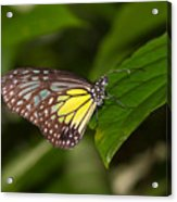 Yellow Glassy Tiger Butterfly Acrylic Print