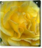 Yellow Golden Single Flower Acrylic Print