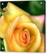 Yellow Golden Single Rose Acrylic Print
