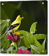 Yellow Goldfinch Acrylic Print