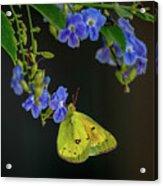 Yellow Grass Butterfly Acrylic Print