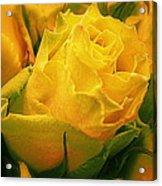 Yellow Green Rose Acrylic Print