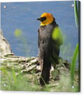 Yellow-headed Blackbird Acrylic Print